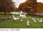 Купить «Пеликан», фото № 197478, снято 6 ноября 2007 г. (c) Юлия Севастьянова / Фотобанк Лори