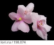 Купить «Узамбарская фиалка розовая», эксклюзивное фото № 198074, снято 28 мая 2006 г. (c) Алёшина Оксана / Фотобанк Лори