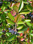 Черноплодная рябина, фото № 198690, снято 5 сентября 2007 г. (c) Светлана Силецкая / Фотобанк Лори