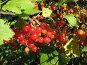 Смородина красная - Ribes rubrum, фото № 200166, снято 22 июля 2007 г. (c) Беляева Наталья / Фотобанк Лори