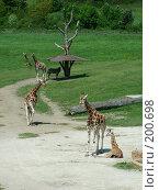 Купить «Пражский зоопарк .Жирафы», фото № 200698, снято 9 мая 2006 г. (c) Светлана Шушпанова / Фотобанк Лори