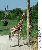 Купить «Жирафы», фото № 200714, снято 9 мая 2006 г. (c) Светлана Шушпанова / Фотобанк Лори