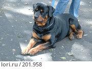 Собака ротвейлер. Стоковое фото, фотограф Федор Королевский / Фотобанк Лори