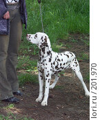 Купить «Собака далматин», фото № 201970, снято 25 апреля 2004 г. (c) Федор Королевский / Фотобанк Лори