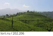Купить «Плантации индийского чая», фото № 202206, снято 16 ноября 2005 г. (c) Марина Бандуркина / Фотобанк Лори