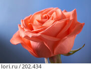 Купить «Розовая роза на голубом фоне», фото № 202434, снято 8 октября 2006 г. (c) Григорий Сухарев / Фотобанк Лори