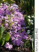 Купить «Сирень ползучая цветок», фото № 203402, снято 19 мая 2007 г. (c) Розе Андрей / Фотобанк Лори