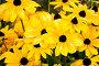 Желтые цветы в саду, фото № 204930, снято 6 августа 2007 г. (c) chaoss / Фотобанк Лори