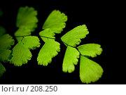Листья адиантума. Стоковое фото, фотограф Александр Федосов / Фотобанк Лори