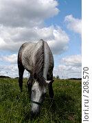Купить «Пасущаяся лошадь», фото № 208570, снято 23 июня 2007 г. (c) Михаил Браво / Фотобанк Лори