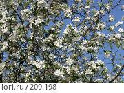 Купить «Цветущая вишня на фоне неба», фото № 209198, снято 20 мая 2007 г. (c) Елена Блохина / Фотобанк Лори