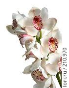 Купить «Ветка белой орхидеи на белом фоне», фото № 210970, снято 15 октября 2018 г. (c) Светлана Кучинская / Фотобанк Лори