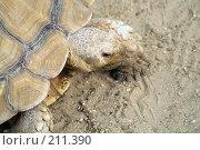 Купить «Сухопутная черепаха», фото № 211390, снято 9 июня 2006 г. (c) Ирина Игумнова / Фотобанк Лори