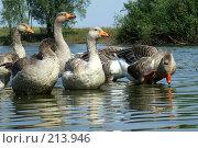 Купить «Гуси на озере», фото № 213946, снято 22 августа 2007 г. (c) Dmitriy Andrushchenko / Фотобанк Лори