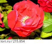 Купить «Роза», фото № 215854, снято 15 июля 2007 г. (c) Павел Филатов / Фотобанк Лори