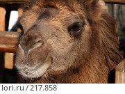 Купить «Морда верблюда крупным планом», фото № 217858, снято 5 февраля 2008 г. (c) Карасева Екатерина Олеговна / Фотобанк Лори