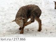 Купить «Маленький ягненок», фото № 217866, снято 7 февраля 2008 г. (c) Карасева Екатерина Олеговна / Фотобанк Лори
