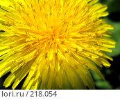 Купить «Желтый одуванчик. Макро», фото № 218054, снято 19 сентября 2019 г. (c) ElenArt / Фотобанк Лори