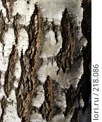 Купить «Березовая кора», фото № 218086, снято 29 января 2020 г. (c) ElenArt / Фотобанк Лори
