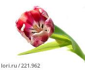 Купить «Тюльпан», фото № 221962, снято 10 марта 2008 г. (c) Ирина Корягина / Фотобанк Лори