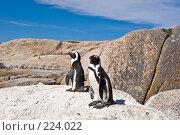 Купить «Африканские пингвины на скале», фото № 224022, снято 2 февраля 2008 г. (c) Артем Абрамян / Фотобанк Лори