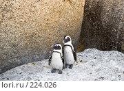 Купить «Африканские пингвины», фото № 224026, снято 2 февраля 2008 г. (c) Артем Абрамян / Фотобанк Лори
