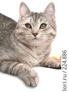 Купить «Взгляд маленького серого котенка», фото № 224886, снято 28 января 2008 г. (c) Останина Екатерина / Фотобанк Лори