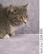 Купить «Взгляд маленького серого котенка», фото № 224890, снято 22 февраля 2008 г. (c) Останина Екатерина / Фотобанк Лори