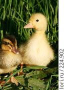 Купить «Две маленькие утки в зеленой траве», фото № 224902, снято 25 мая 2007 г. (c) Останина Екатерина / Фотобанк Лори