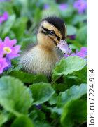 Купить «Маленькая утка сидит в зеленой траве», фото № 224914, снято 26 мая 2007 г. (c) Останина Екатерина / Фотобанк Лори
