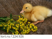 Купить «Маленькая утка и желтые цветы летним днем», фото № 224926, снято 26 мая 2007 г. (c) Останина Екатерина / Фотобанк Лори