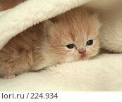 Купить «Взгляд маленького симпатичного пушистого котенка», фото № 224934, снято 4 марта 2008 г. (c) Останина Екатерина / Фотобанк Лори