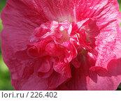 Купить «Розовый цветок», фото № 226402, снято 16 августа 2006 г. (c) VPutnik / Фотобанк Лори