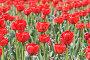 Красные тюльпаны, фото № 226990, снято 29 апреля 2005 г. (c) Кравецкий Геннадий / Фотобанк Лори
