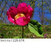 Купить «Дикий пион», фото № 228674, снято 10 мая 2005 г. (c) Илья Троицкий / Фотобанк Лори