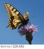 Купить «Махаон на цветке на фоне неба», фото № 228682, снято 8 июня 2005 г. (c) Илья Троицкий / Фотобанк Лори