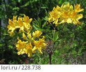 Купить «Цветы рододендрона», фото № 228738, снято 10 мая 2007 г. (c) Илья Троицкий / Фотобанк Лори