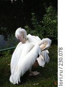 Купить «Два пеликана чистят свои перья», фото № 230078, снято 11 июля 2007 г. (c) Карасева Екатерина Олеговна / Фотобанк Лори