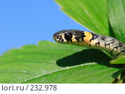 Купить «Змея уж», эксклюзивное фото № 232978, снято 17 августа 2005 г. (c) Дмитрий Неумоин / Фотобанк Лори