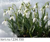 Купить «Подснежники», фото № 234150, снято 13 апреля 2005 г. (c) VPutnik / Фотобанк Лори