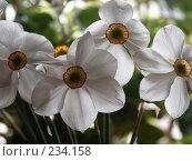 Купить «Нарциссы», фото № 234158, снято 19 мая 2005 г. (c) VPutnik / Фотобанк Лори