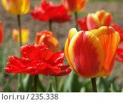 Купить «Тюльпаны», фото № 235338, снято 17 мая 2006 г. (c) griFFon / Фотобанк Лори