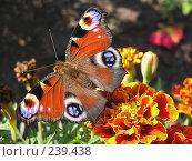 Купить «Глазастая. Бабочка Павлиний глаз», фото № 239438, снято 29 сентября 2007 г. (c) ikheid / Фотобанк Лори