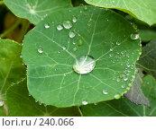 Купить «Роса на листьях», фото № 240066, снято 19 августа 2018 г. (c) Куприянов Евгений / Фотобанк Лори