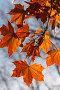 Желтые кленовые листья, фото № 241090, снято 21 января 2017 г. (c) Кравецкий Геннадий / Фотобанк Лори