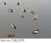 Купить «Много уток на сером фоне», фото № 242010, снято 8 марта 2008 г. (c) Юлия Селезнева / Фотобанк Лори
