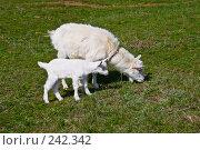 Купить «Коза с козлёнком, пасущиеся на зеленой травке», фото № 242342, снято 29 марта 2008 г. (c) Борис Панасюк / Фотобанк Лори