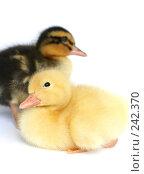 Купить «Две маленькие утки вместе на белом фоне», фото № 242370, снято 24 мая 2007 г. (c) Останина Екатерина / Фотобанк Лори