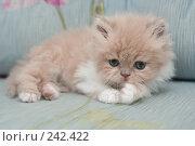 Купить «Взгляд маленького симпатичного пушистого котенка», фото № 242422, снято 28 марта 2008 г. (c) Останина Екатерина / Фотобанк Лори