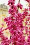 Цветущий кустарник, фото № 243138, снято 24 марта 2017 г. (c) Лифанцева Елена / Фотобанк Лори